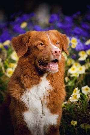 happy cute golden retriever Toller dog portrait in the colors photo