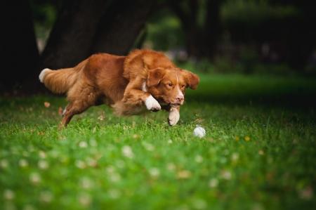 perro corriendo: feliz golden retriever perro Toller jugando con la pelota Foto de archivo