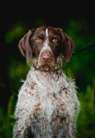 springer: pensive cute Chocolate hunting dog looks away
