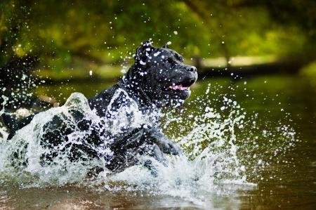 Dog Cane Corso run in the water in summer