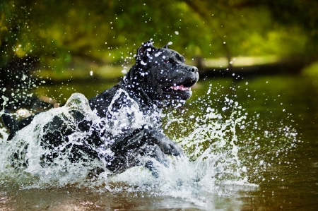 Dog Cane Corso run in the water in summer photo