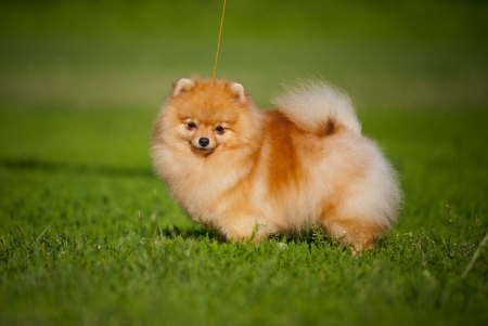 Young puppy Spitz is on the grass in the summer and looks at the camera photo