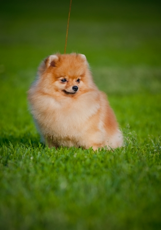 Young puppy Spitz sitting on grass in the summer photo