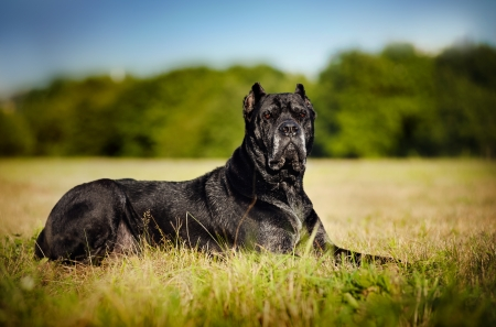 cane corso: black Dog Cane Corso lying on the field