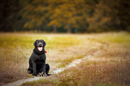 brown labrador sitting on a footpath in summer