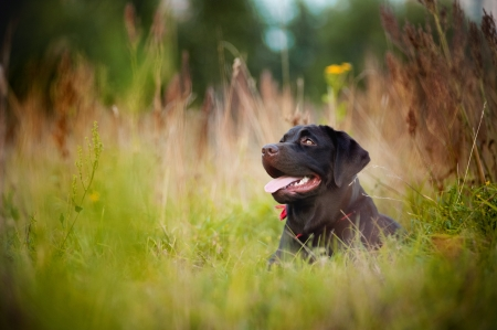 brown labrador lying  on the grass in summer photo