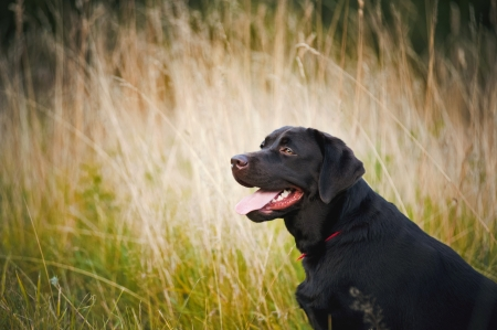 portrait of cute brown labrador  in summer photo