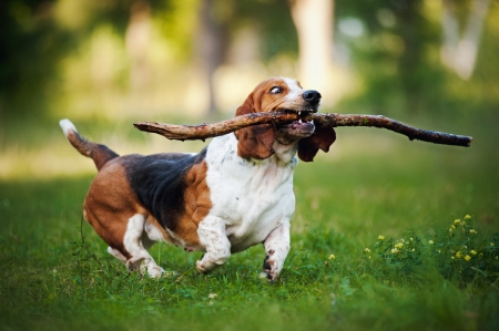 dogs playing: cute funny dog running on the grass with stick Stock Photo