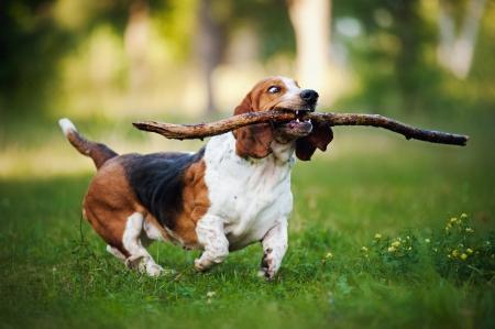 perros jugando: perro lindo divertido correr en la hierba con el palo Foto de archivo