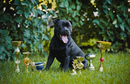 Happy proud dog Stafford Terrier with medals