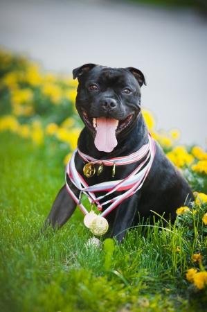 stafford: Buon fiero cane Stafford Terrier con medaglie Archivio Fotografico