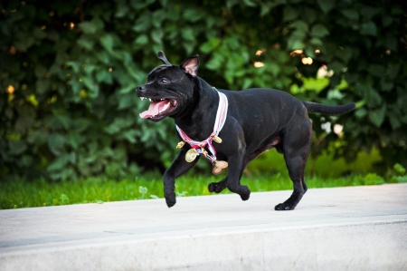 Happy proud dog Stafford Terrier runs with medals photo