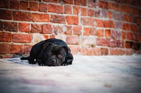 scottish collie: sad dog Terrier sitting  lying on brick background Stock Photo