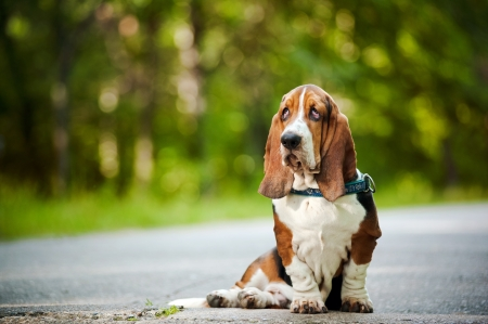 Dog Basset hound sitting and looks forward photo