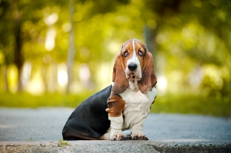 Dog Basset hound sitting and looks at the camera photo