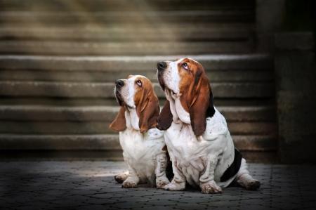 two dog Basset hound sitting and looks up at light 版權商用圖片