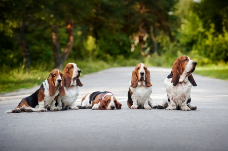 basset hound: group of dogs basset hound sitting on the road
