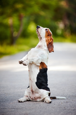 dog basset hound sitting on his hind legs on the road