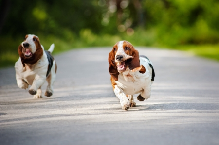 cute funny dogs Basset hound running on the road Standard-Bild