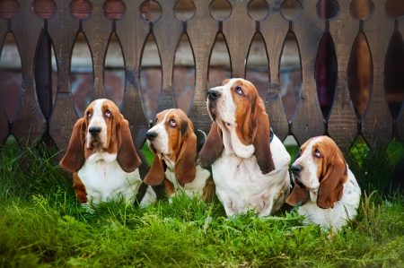 group of four dogs basset hound sitting on the grass