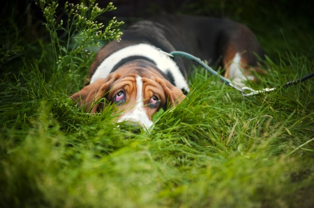 basset hound: Dog Basset hound laying on the grass and looks up