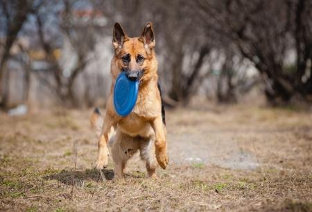 Happy funny German shepherd run with disc photo