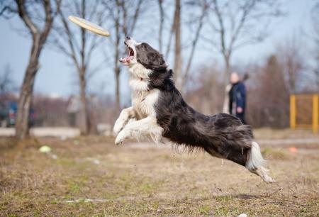 perro corriendo: Border Collie perro azul captura disco en salto Foto de archivo