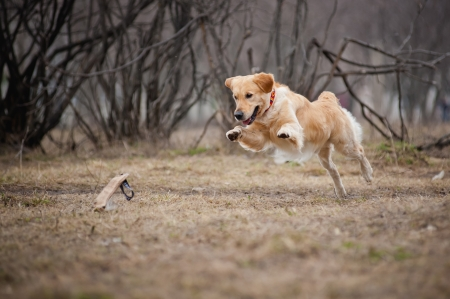 dog running: cute funny golden Retriever dog playing with a toy