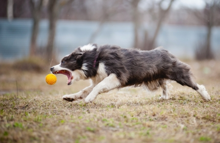 cute funny Blue Border Collie dog playing with a toy ball photo