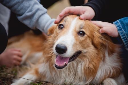 children's hands caress red border collie dog Standard-Bild