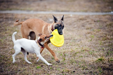 dogs play: Two dogs play with toy disc together