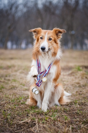 Happy proud red border collie dog has many medals photo