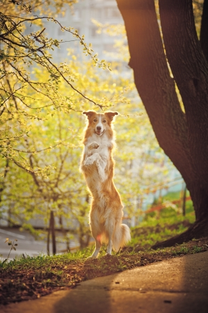 Border collie dog stand up on the spring sunshine background photo