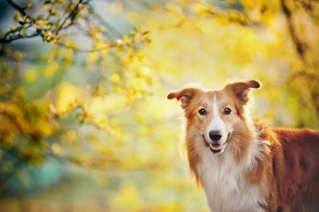 Border collie dog portrait on the spring sunshine background Stock Photo