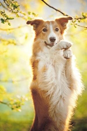 Border collie dog portrait on the spring sunshine background Archivio Fotografico