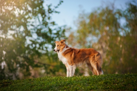Border collie dog stand up on the summer sunshine background photo