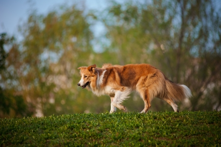 Border collie dog walking on the spring sunshine background photo