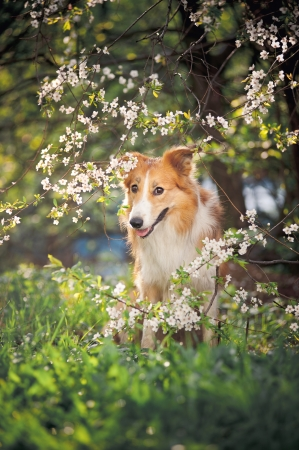 dog park: border collie dog portrait on a background of white flowers in spring