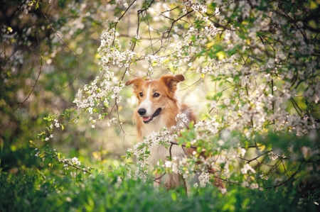 summer dog: border collie dog portrait on a background of white flowers in spring