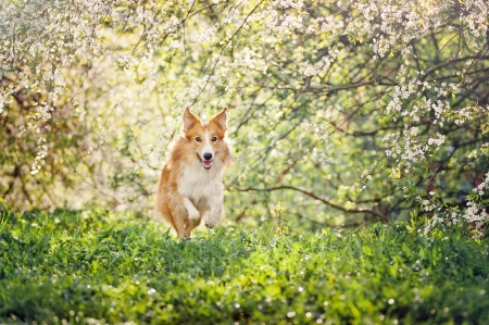 border collie dog running on a background of white flowers in spring