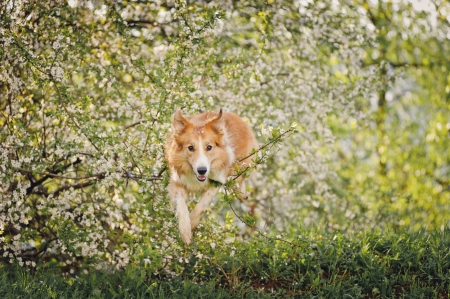 border collie dog jumping on a background of white flowers in spring photo