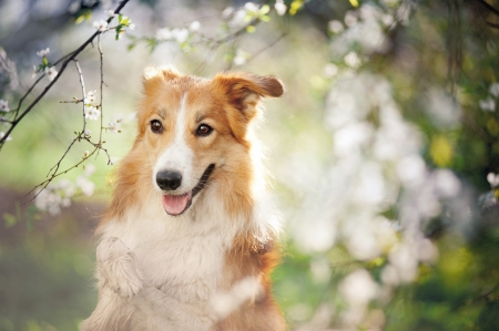 border collie dog portrait on a background of white flowers in spring
