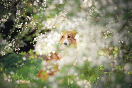 border collie dog portrait on a background of white flowers in spring photo