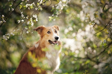 good looking: border collie dog portrait on a background of white flowers in spring