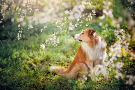 dogs playing: border collie perro retrato en un fondo de flores blancas en primavera