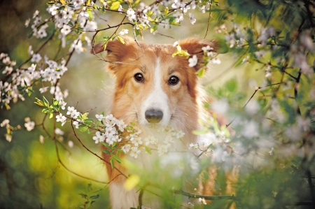 border collie dog portrait looking at the camera on a background of white flowers in spring