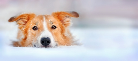 eyes looking down: Cute red dog border collie lying in the snow, portrait