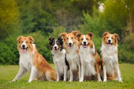 group of five happy dogs border collie sitting on the grass in summer Standard-Bild