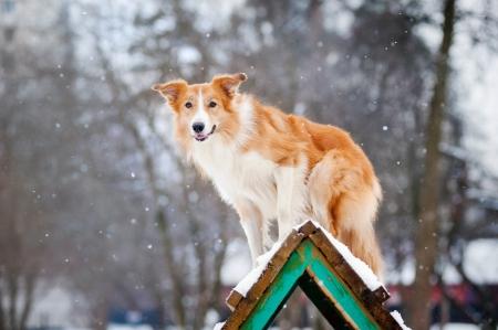 Red Dog border collie training in winter 版權商用圖片