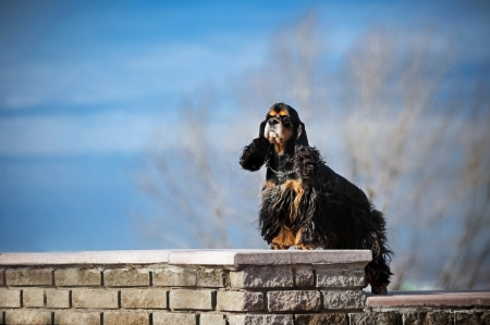 american cocker spaniel stay on sky background photo